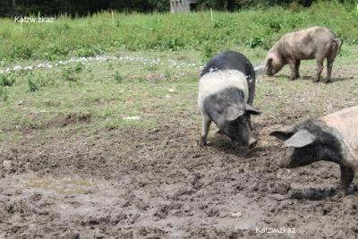 Saddleback Pigs Oldfarm Tipperary