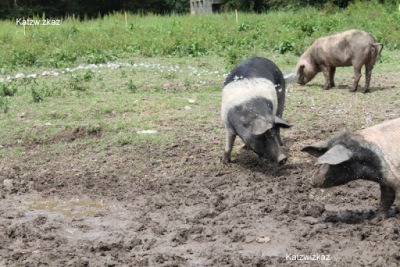 Saddleback Pigs Oldfarm Tipperary